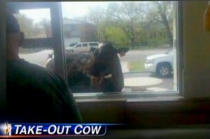 Darcy+the+cow+at+a+McDonalds+drive-thru