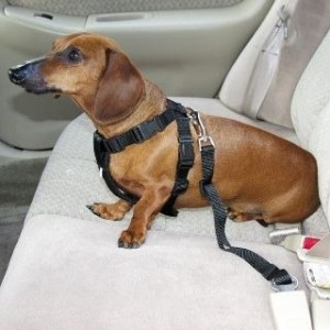cinturon-de-seguridad-para-perros-chuihuahuas-y-otras-razas_MPE-O-4041182223_032013