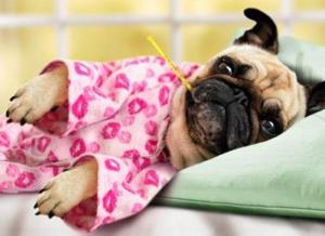 Sick Pug