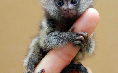 Monkey transport
