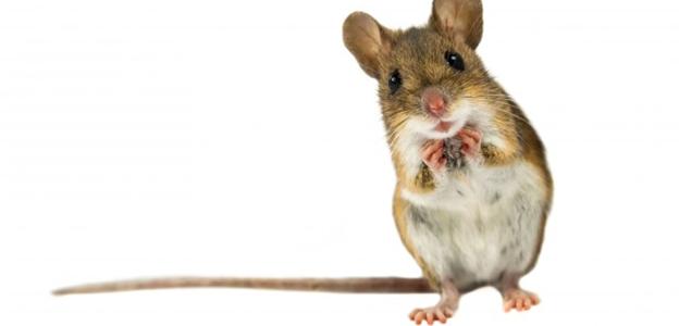 Mice in Germany